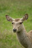 Bactrian deer Royalty Free Stock Photo