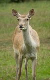 Bactrian deer Stock Photos