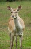 Bactrian deer Stock Photos