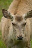 Bactrian deer Royalty Free Stock Photo
