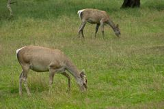 Bactrian deers Stock Images