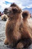 Bactrian eller två-knöl kamel i den Nubra dalen Royaltyfria Foton
