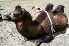 Bactrian eller två-knöl kamel i den Nubra dalen Royaltyfri Bild