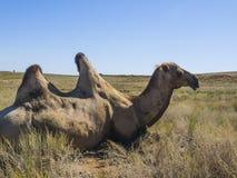 Bactrian kamel Royaltyfria Bilder