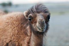 Bactrian kamel Fotografering för Bildbyråer