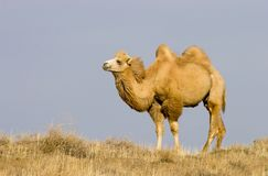 bactrian kamel Arkivbilder