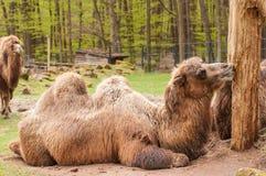 Bactrian kamel Arkivbild