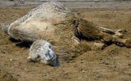 Bactrian kamel 14 Royaltyfri Fotografi