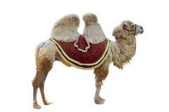 bactrian kamel Arkivfoto