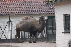 Bactrian Kamel Lizenzfreie Stockbilder
