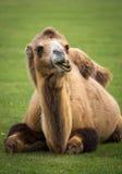 bactrian kamel Royaltyfria Foton