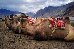 bactrian kamel Royaltyfri Foto
