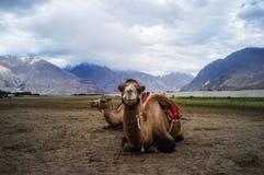 bactrian kamel Royaltyfri Fotografi
