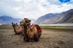 bactrian kamel Arkivfoton