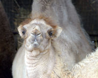 Bactrian kamel, Camelus bactrian Arkivfoton