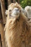 Bactrian kamel - Camelusbactrianus Royaltyfri Bild