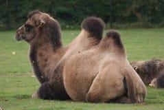 Bactrian kamel - Camelusbactrianus Arkivfoto
