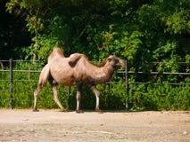 Bactrian kamel (Camelusbactrianus, Camelusferusen) Arkivfoto