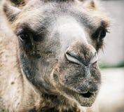 Bactrian kamel - Camelusbactrianus - humoristisk closeupstående Royaltyfri Fotografi
