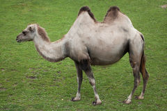 Bactrian kamel & x28; Camelusbactrianus& x29; Royaltyfri Foto