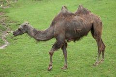 Bactrian kamel & x28; Camelusbactrianus& x29; Royaltyfria Foton