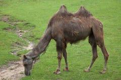 Bactrian kamel & x28; Camelusbactrianus& x29; Arkivfoton