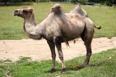 Bactrian kamel (camelusbactrianusen) Arkivbilder