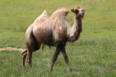 Bactrian kamel (camelusbactrianusen) Royaltyfri Fotografi