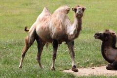 Bactrian kamel (camelusbactrianusen) Arkivbild