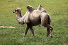 Bactrian kamel (camelusbactrianusen) Royaltyfria Foton