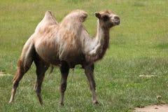 Bactrian kamel (camelusbactrianusen) Royaltyfri Bild