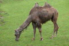 Bactrian kamel (camelusbactrianusen) Arkivfoto