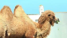 Bactrian kamel för närbild i fålla som äter från fågelförlagematare stock video