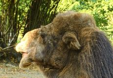 bactrian kamel Geografiskt område: Dess befolkning av två miljoner finns främst i den tämjde formen, lösa kamel Royaltyfri Bild