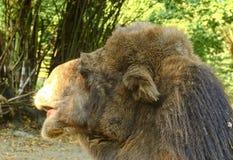 bactrian kamel Geografiskt område: Dess befolkning av två miljoner finns främst i den tämjde formen, lösa kamel Royaltyfri Foto