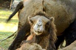bactrian kamel Geografiskt område: Dess befolkning av två miljoner finns främst i den tämjde formen, lösa kamel Arkivfoton