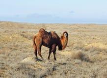 Bactrian kamel i öknen Arkivbild