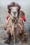 Bactrian kamel i den Nubra dalen, Ladakh, norr Indien Royaltyfria Bilder