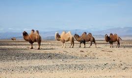 Bactrian kamel i stäpparna av Mongoliet Fotografering för Bildbyråer
