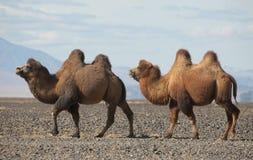 Bactrian kamel i steppesna av Mongoliet Arkivbild