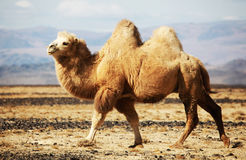 Bactrian kamel i steppesna av Mongoliet Royaltyfria Foton