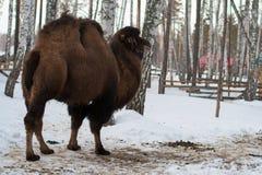 Bactrian kamel i vintern Arkivfoton