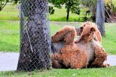 Bactrian kamel i zoo Arkivbilder