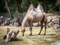 Bactrian kamel i ZOO Bratislava Arkivbild