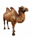 Bactrian kamel. Isolerat på vit Royaltyfria Foton