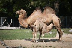 Bactrian Kamel mit Krankenpflege-Baby Stockfotografie