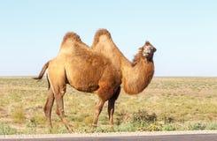 Bactrian kamel nära vägen Arkivfoton