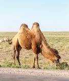 Bactrian kamel nära vägen Royaltyfri Foto