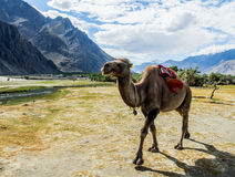 Bactrian kamel på den Hudar dalen Arkivbild