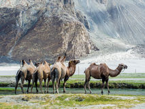 Bactrian kamel på den Hudar dalen Arkivfoton